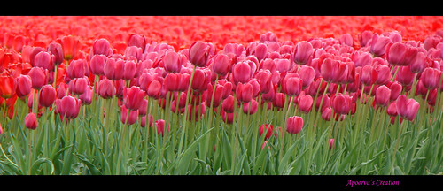 Bunch of tulips | by linusmvs2