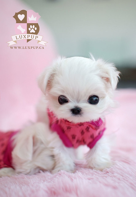Teacup Size Maltese | Flickr - Photo Sharing!