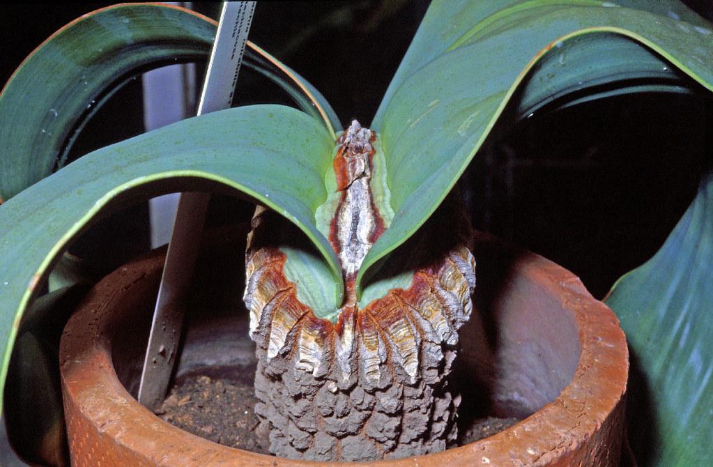 Welwitschia Mirabilis Gnetales Young Plant