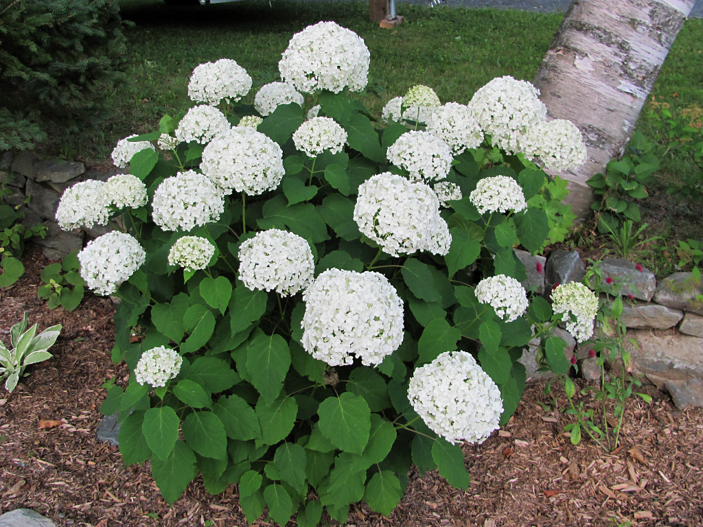 annabelle hydrangea hydrangea arborescens 39 annabelle 39 gift flickr. Black Bedroom Furniture Sets. Home Design Ideas