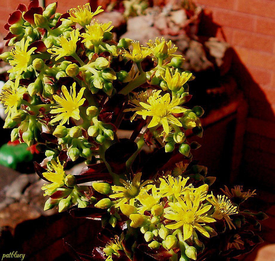 Red Succulent With Tiny Yellow Flowers I Cant Tell You The Flickr