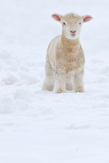 Fleece as White as Snow | by *amy&kimball