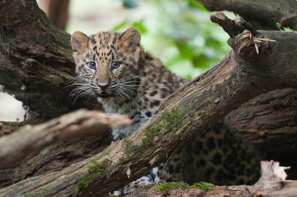 Amur Leopard cub - Cuc...
