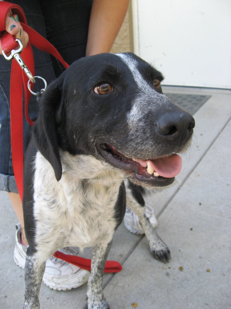 Adopt Pointer Mix Sadie From Orange County Animal Shelter