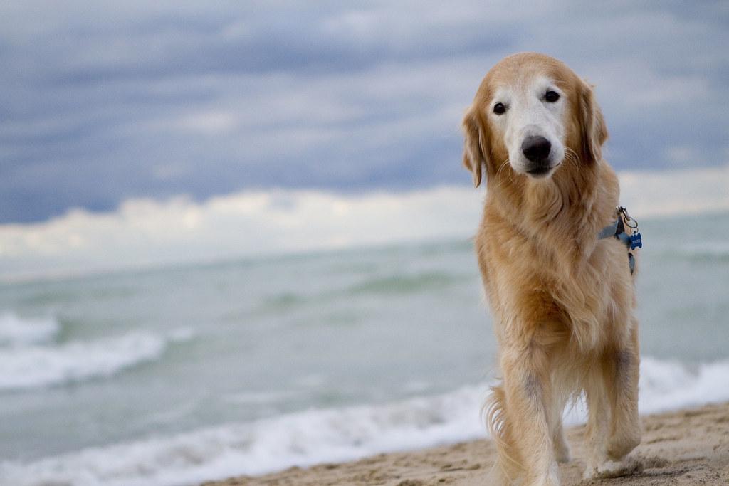 Golden Retriever Enjoying The Beach At Grand Mere Beach In Flickr