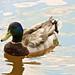 Quack....