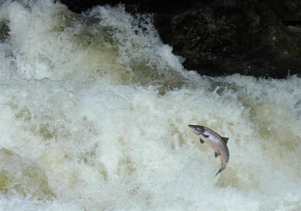 salmon jumping a mature breeding atlantic salmon jumping