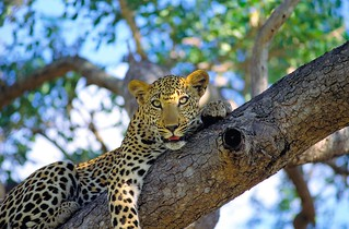 Leopard | by safari-partners