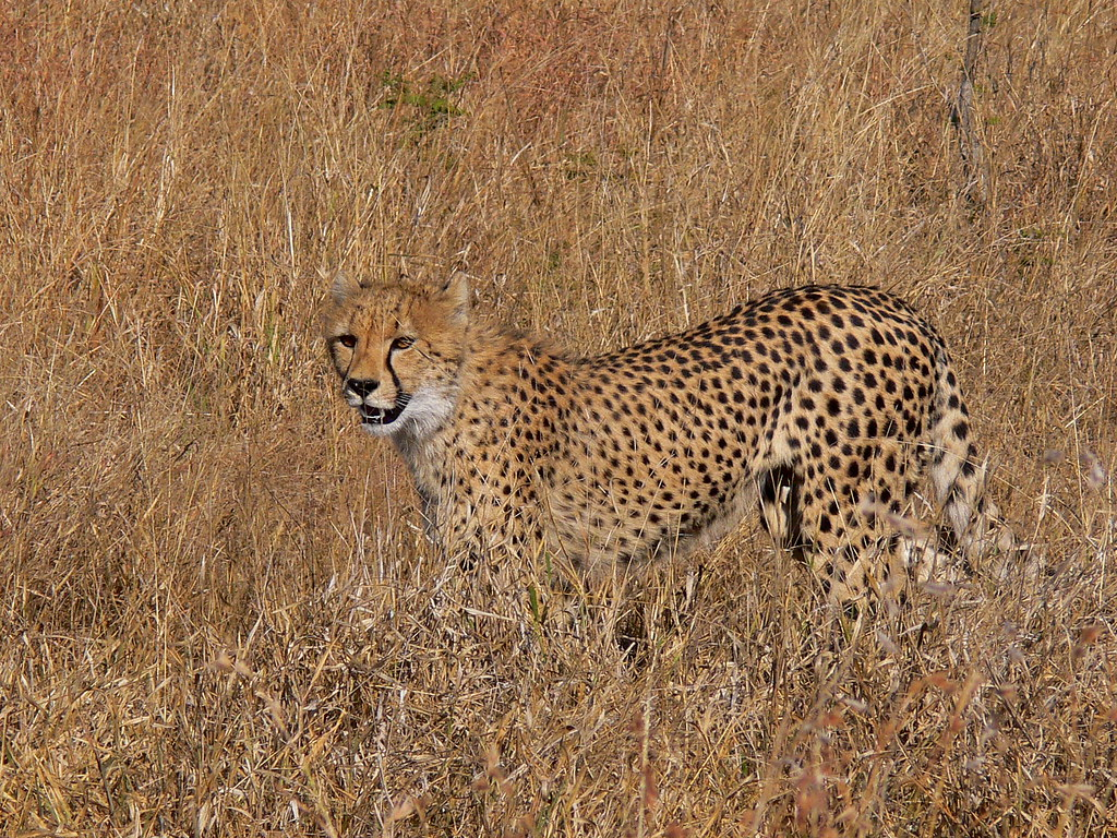 master of camouflage | One of the five cheetahs seen