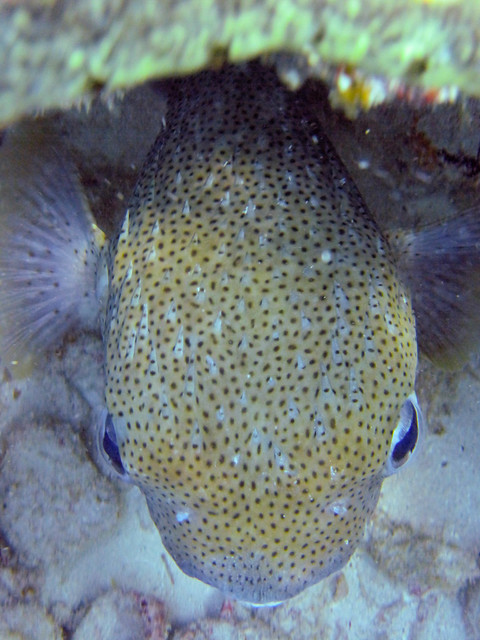 Puffer fish flickr photo sharing for Puffer fish florida