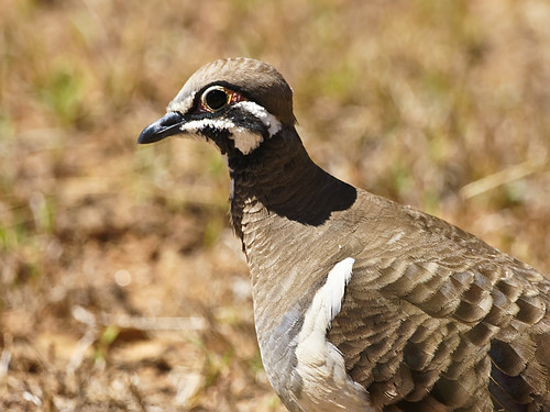 Squatter Pigeon (Geophaps scripta) | by David Cook Wildlife Photography