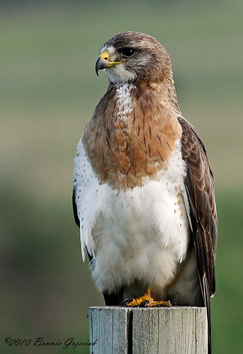 Swainson's Hawk 9293 | by Bonnieg2010
