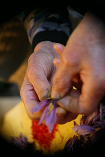Plucking saffron strands | by Lidia Bastianich