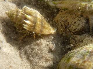 Hermit crab in crown conch shell, next to crown conchs | by wfsu.org