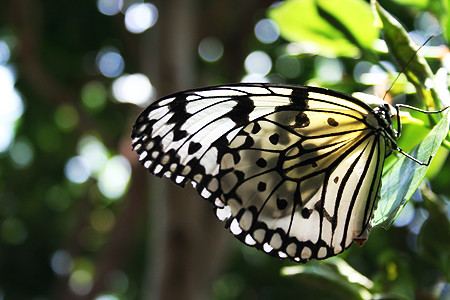 Japanese butterfly | T...