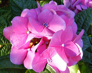 #CatchyColors pink-blue Rosé hydrangea - Hortensie | by RenateEurope