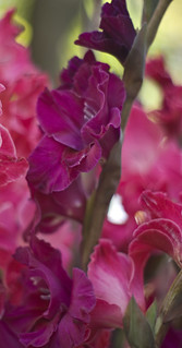 Virginia's Birthday Gladiolas | by dan_spun