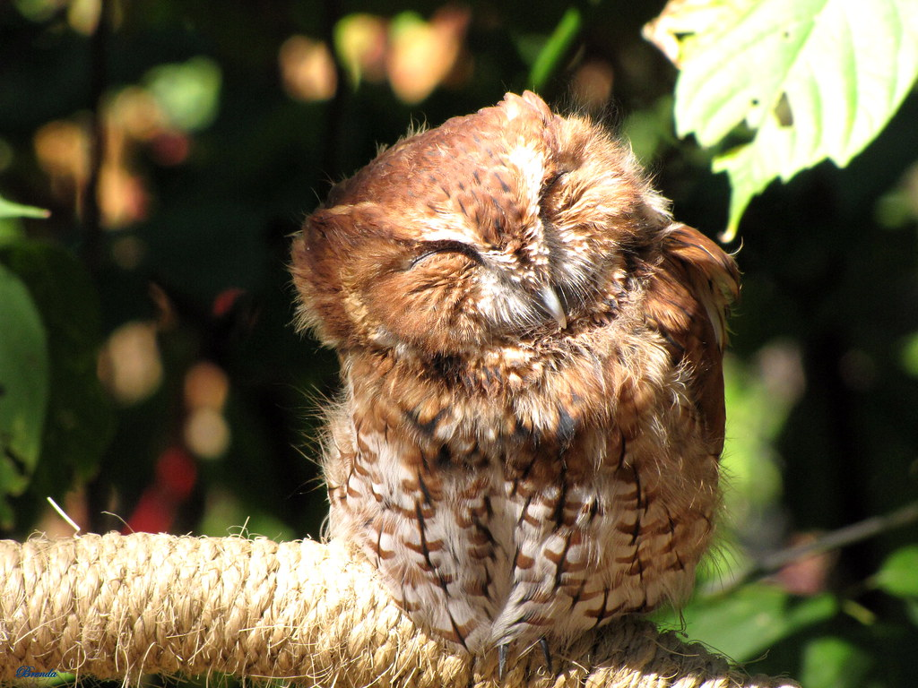Screech Owl | This little guy was at the Woodland Nature ...