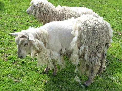 a sheep with wool break wool break in sheep donna. Black Bedroom Furniture Sets. Home Design Ideas