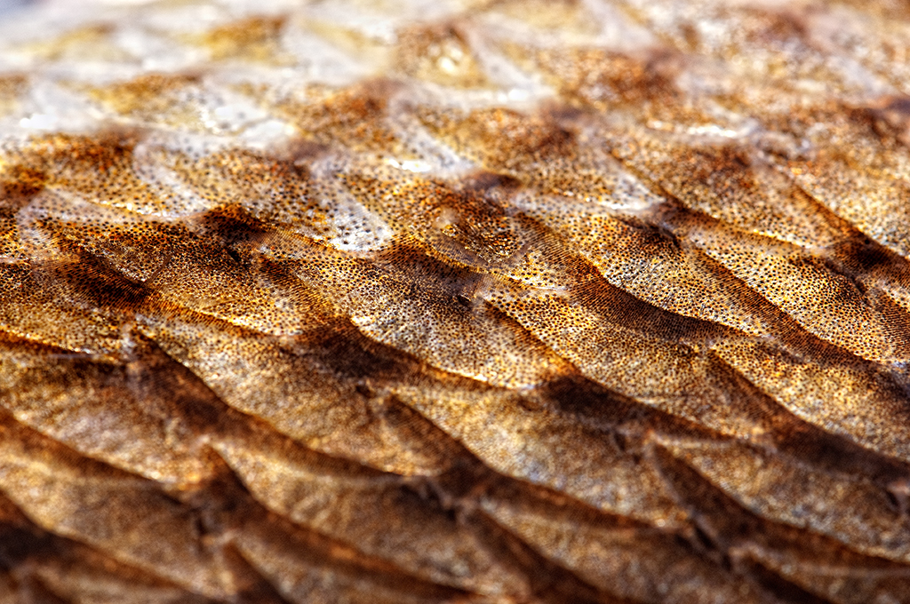Redfish scales macro of scale detail from 24 adult for Mlf fishing scale