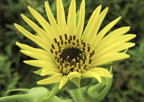 Silphium laciniatum COMPASS PLANT