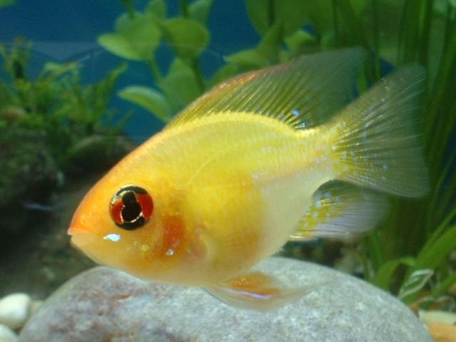 German Gold Ram Thecozyclownfish Flickr