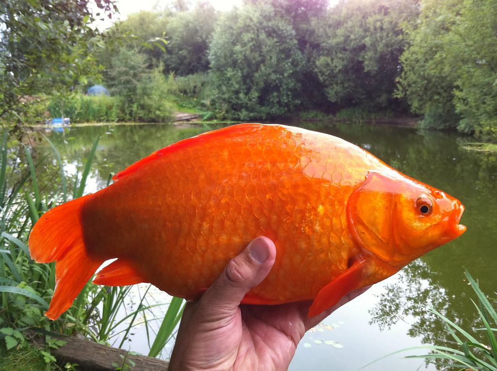 Image gallery orange carp for Koi and carp