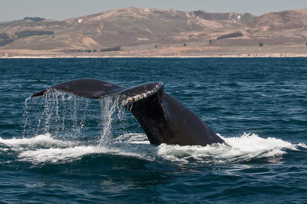 shown here is a humpback whale  megaptera novaeangliae