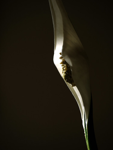 Peace Lily | by yvonnepay615
