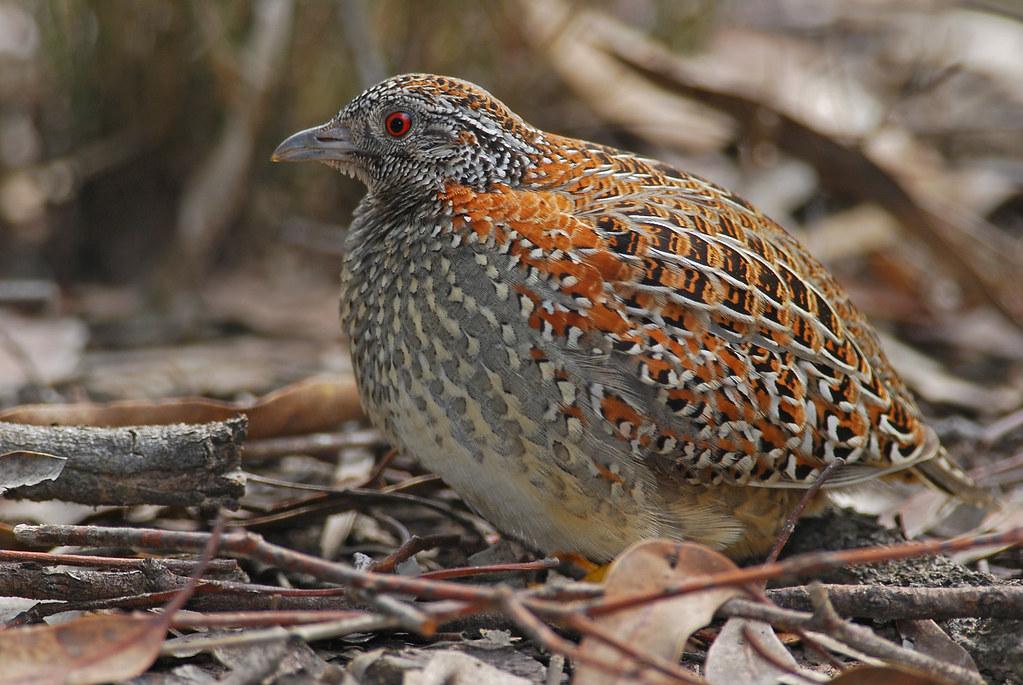Painted button quail   Castlereagh SF, NSW   arronsphotos
