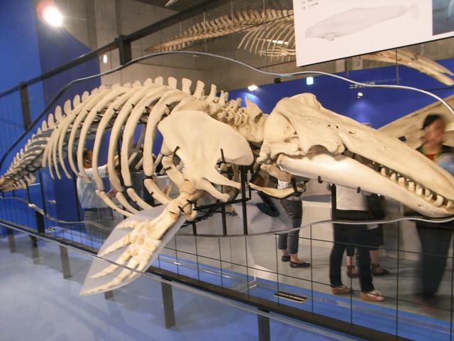 シロイルカの画像 p1_12