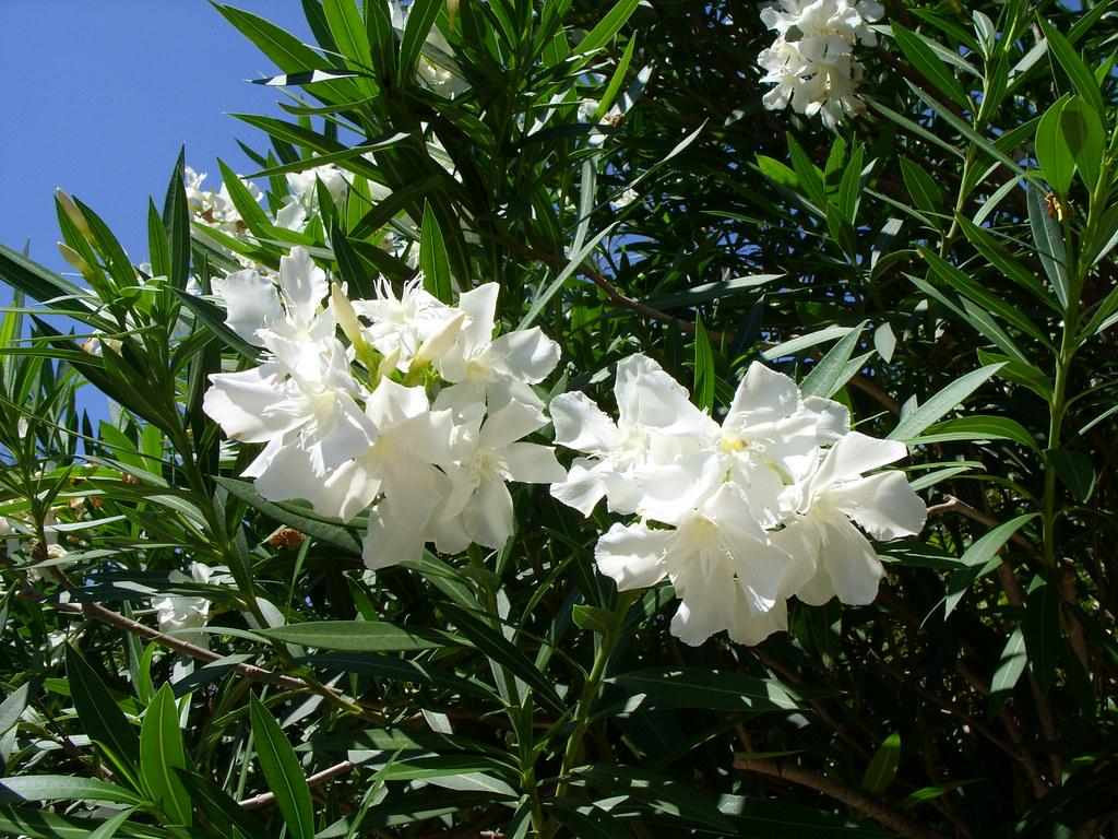 White Oleander A Nice Evergreen Tree This White Oleande Flickr