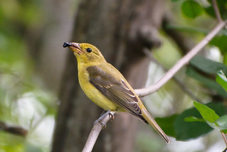 Female Scarlet Tanager | by Jim McCree