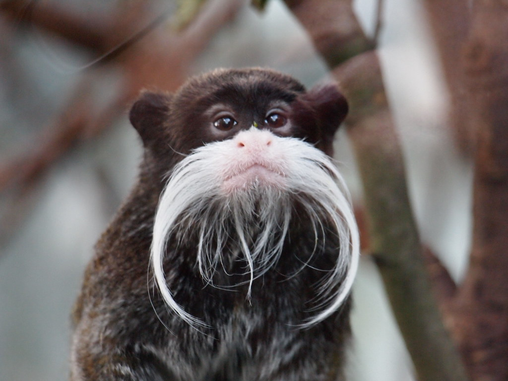 Beardy Monkey: Emperor Tamarin/Moustache Monkey
