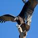 IMG_4481 Immature Turkey Vulture