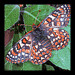 Endangered Quino checkerspot butterfly