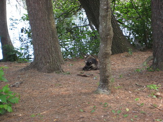 raccoon near the Manistee River | by Grayling Visitors Bureau