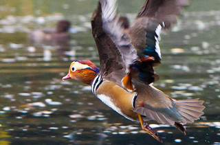 Mandarin flight | by Steve-h