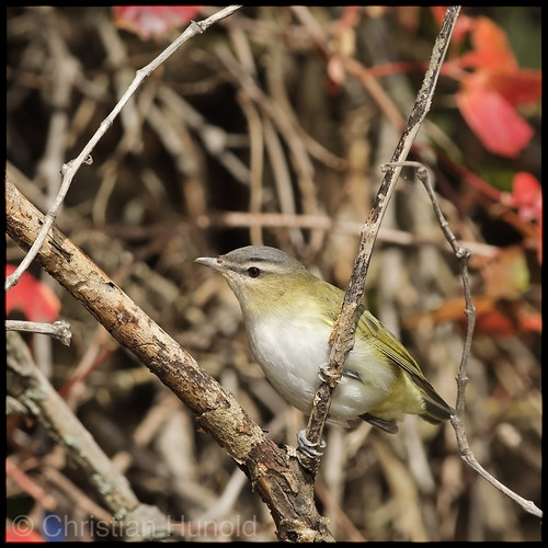 red-eyed vireo | by Christian Hunold