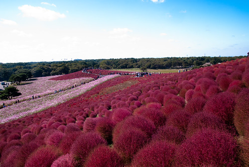 Kochia - Hitachi Seaside Park, Japan | by shin--k