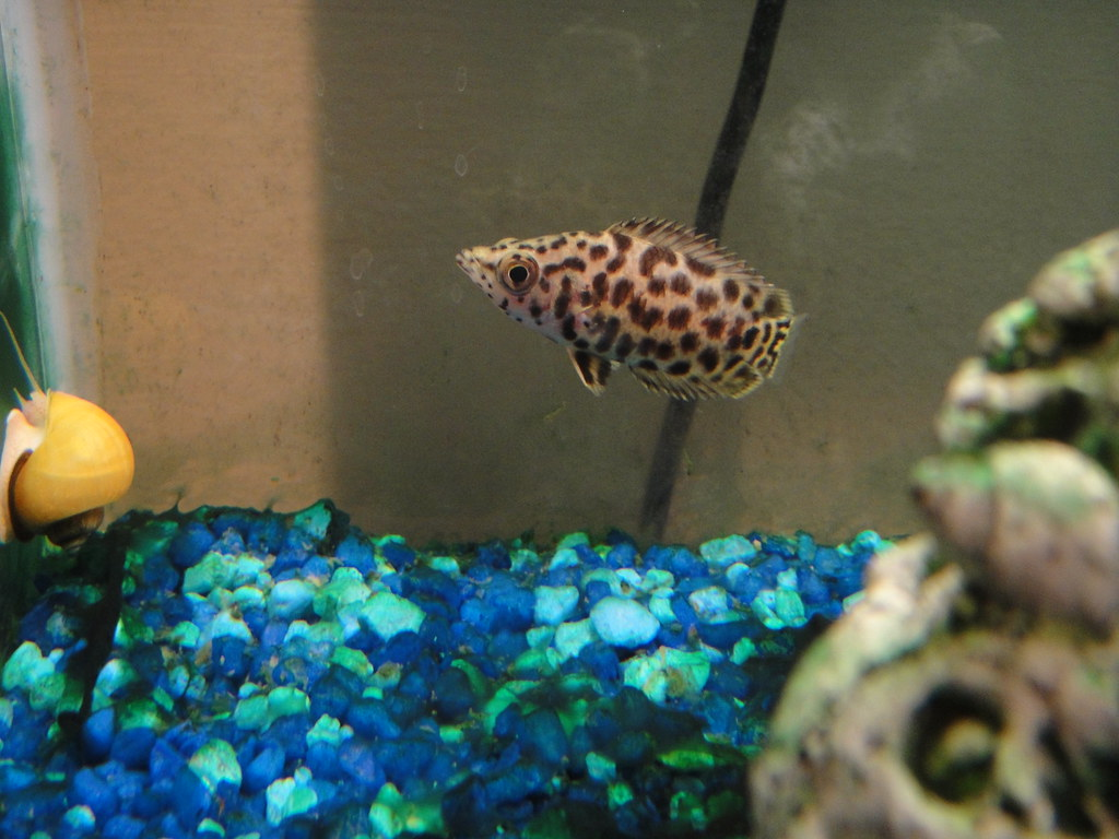 african spotted leaf fish