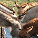Donkey Ears 2