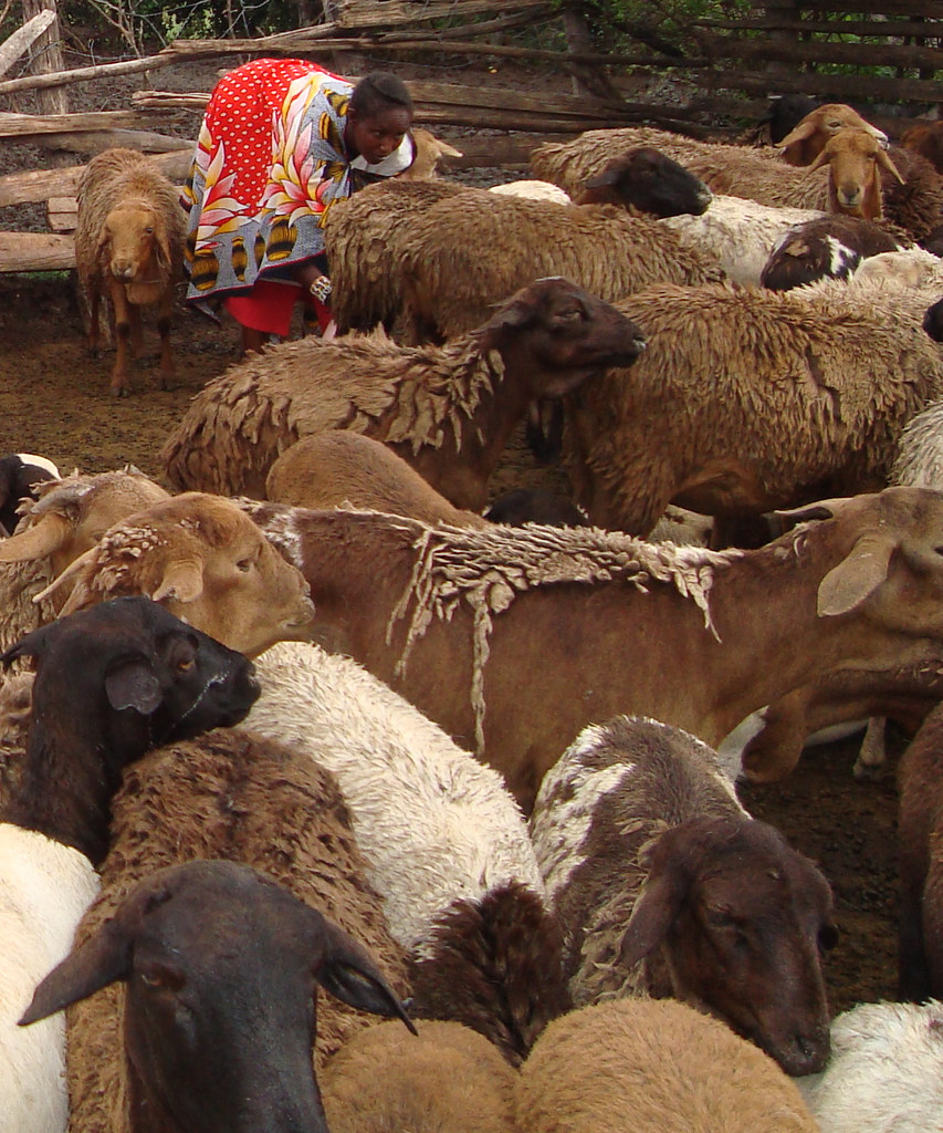 The worm resistant red Maasai sheep of East Africa Flickr