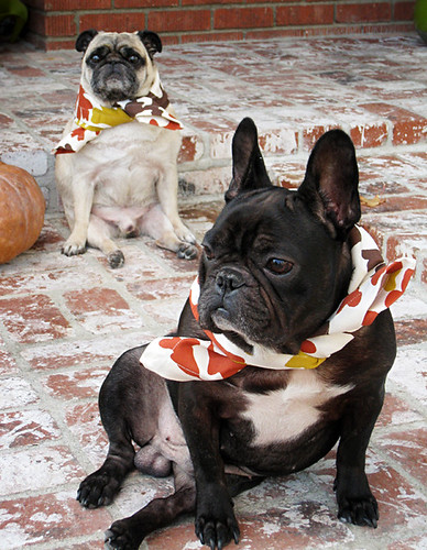pug and frenchic dressed for thanksgiving+funny dogs | by ...love Maegan