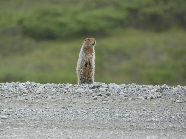 Marmota en Alaska