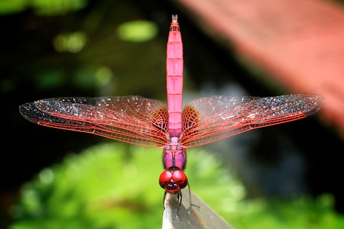 Red Dragonfly | by marboed