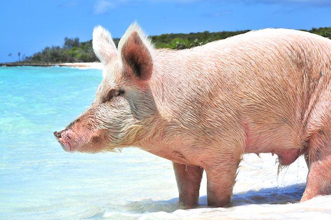 Swimming Pig On The Beach Exuma Cays The Bahamas Flickr