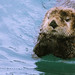 Seward Alaska - Sea Otter