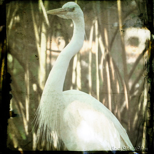 A Great White Heron in texture | by Nancy Violeta Velez