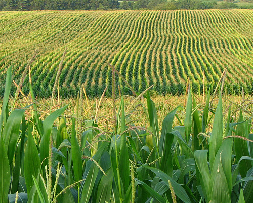 Corn field | by fishhawk